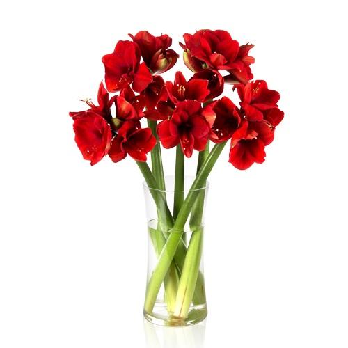 5 rote amaryllis f r 18 90 inkl versand. Black Bedroom Furniture Sets. Home Design Ideas