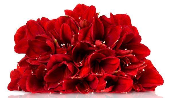 5 rote Amaryllis iBB