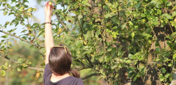 Griff zum Apfel mundraub