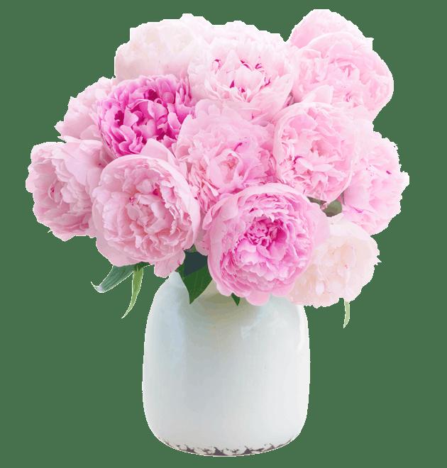 pfingstrosen-rosa