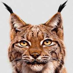 Profilbild von Luchs