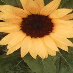 Profilbild von Sonnenblume3