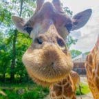 26399965-kordofan-giraffe-maoli-lebt-seit-knapp-drei-monaten-im-zoo-dortmund-NOa9