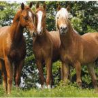 haeder-pferd